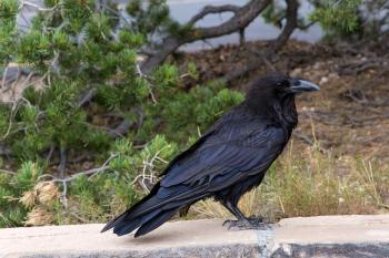 Raven of Grand Canyon -1