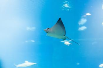 Ray in the Ocean