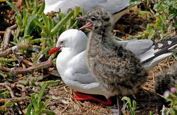 Red Billed Gull And Chick NZ