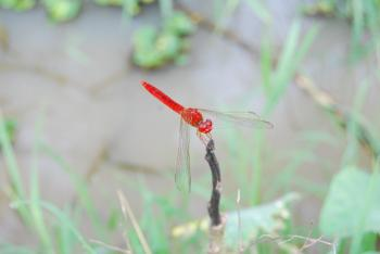 Red firefly