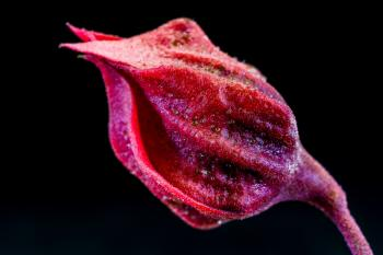 Red Flower Bud
