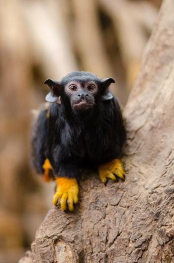 Red-handed tamarin on Brown Tree on Close Up Photography