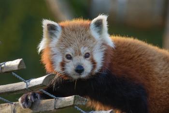 Red Panda 2016-01-08-00019