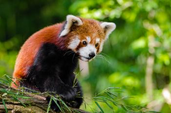 Red Panda Bamboo Dinner