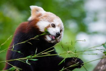 Red Panda Bamboo Lunch
