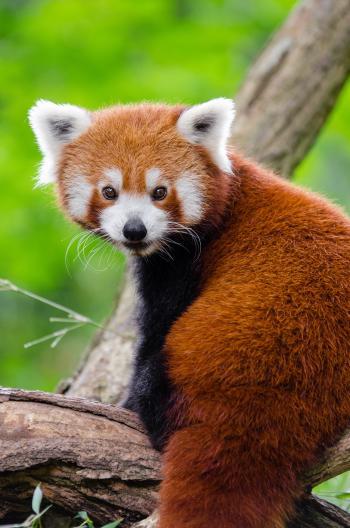 Red Panda on Branch