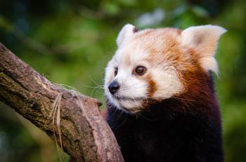 Red Panda Waiting For Lunch