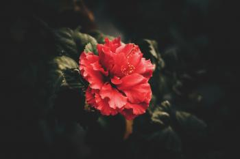 Red Petaled Flower