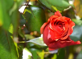 Red Petaled Rose