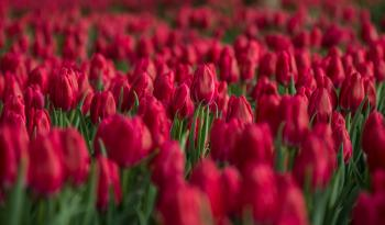 Red Tulip Flower Field Close-up Photo