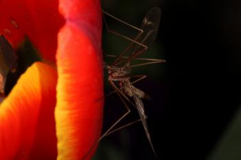 Red Tulip with Cranefly