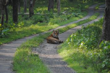 Resting Tiger at Jungle Path