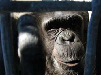 Retired Chimp