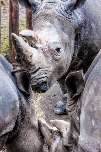 Rhinoceros in a zoo