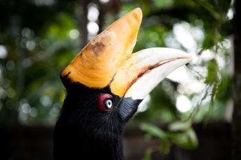 Rhinocerous hornbill bird