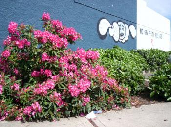 Rhododendron verses grafitti