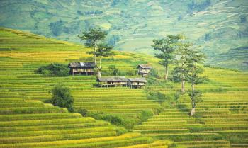 Rice Plantation in Asia