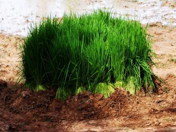 Rice seedlings prepared for planting sea