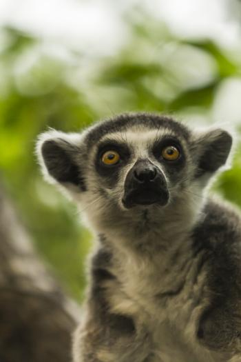 Ring-tailed lemur / Gyűrűsfarkú maki