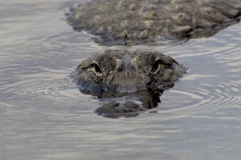 River Alligator