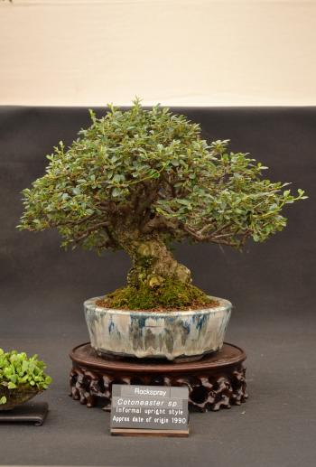 Rockspray bonsai tree