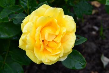 Rose 'You Are My Sunshine'