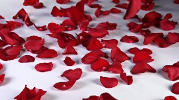 roses petals