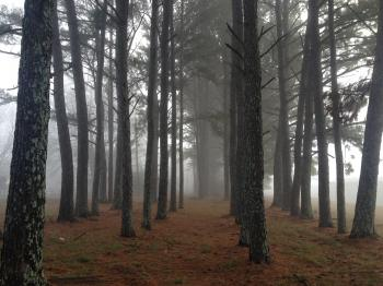 Rows of Trees Amidst Fog