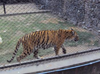 Royal Bengal tiger at Alipur zoo