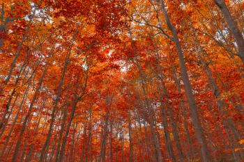 Ruby Fall Forest Foliage - HDR