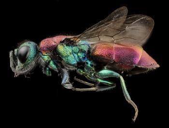 Rubytail Wasp