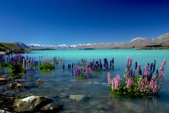 Russell Lupins in Lake Tekapo.NZ