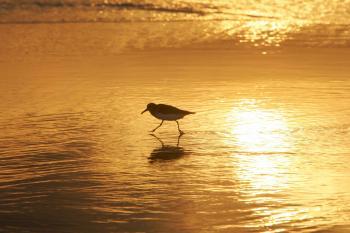 Sanderling Hunting