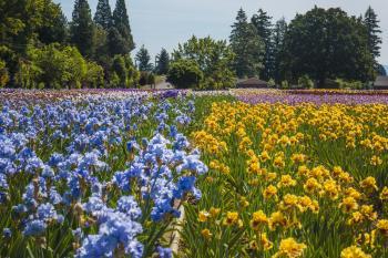 Schreiner's Iris Garden, Oregon, Iris fields