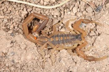 Scorpion macro