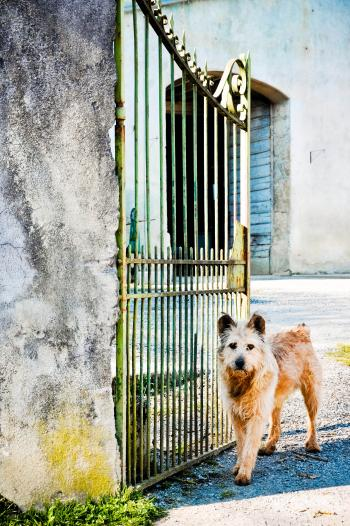 Scruffy dog waiting at the gate
