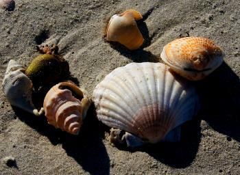 Sea Shells (4)