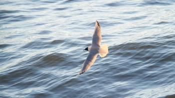 Seagull Flying over the Ocean