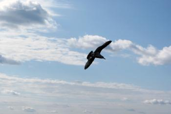 Seagull In Flight 2