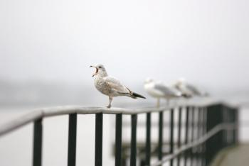 Seagull singing