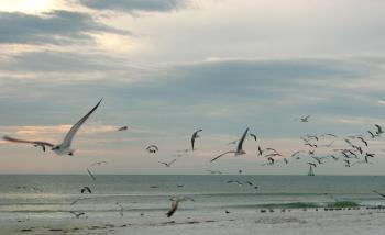 Seagulls flying over the beach at sunset
