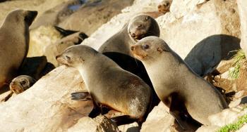 Seal pups. (gang of three)