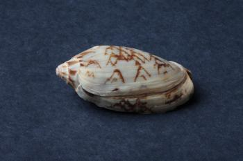 Seashell on dark background