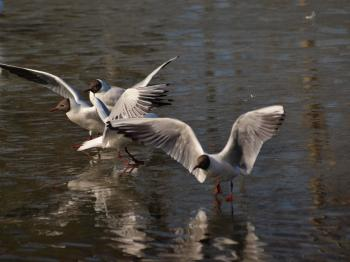Segulls on half frozen lake