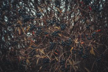 Selective Focus of Berries
