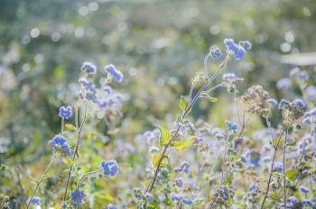 Selective Focus Photography of Blue Ageratum Flowers