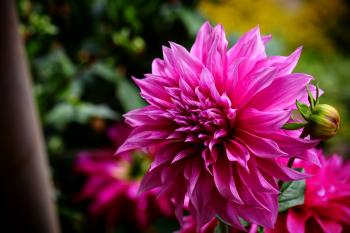 Selective Focus Photography of Magenta Flower