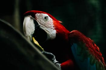 Selective Focus Photography of Scarlet Macaw