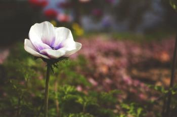 Selective Focus Photography of White and Purple Poppy Flower