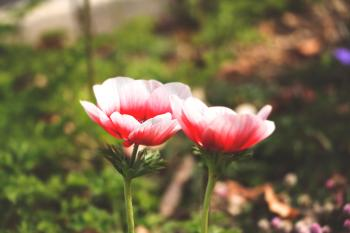Selective Focus Photography of White and Red Anemone Flower
